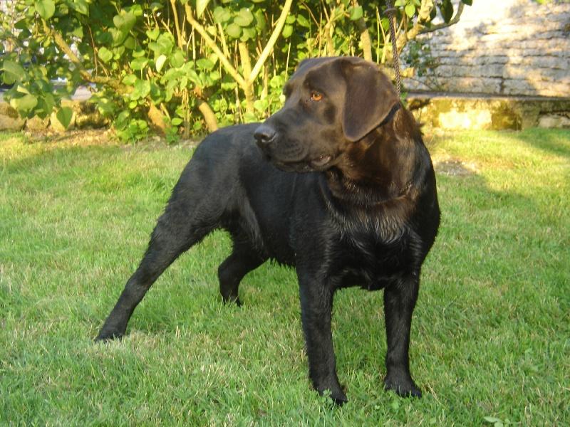 Les Labrador Retriever de l'affixe du pré de l'égvonne