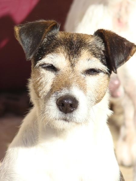 Les Parson Russell Terrier de l'affixe du Coeur de Caro