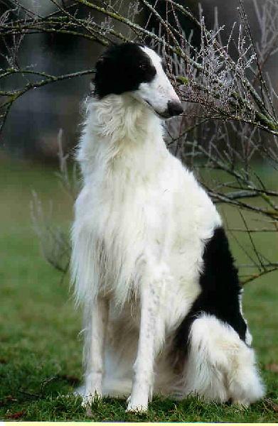 A Borzoi Dog Russian Greyhound - Bo...