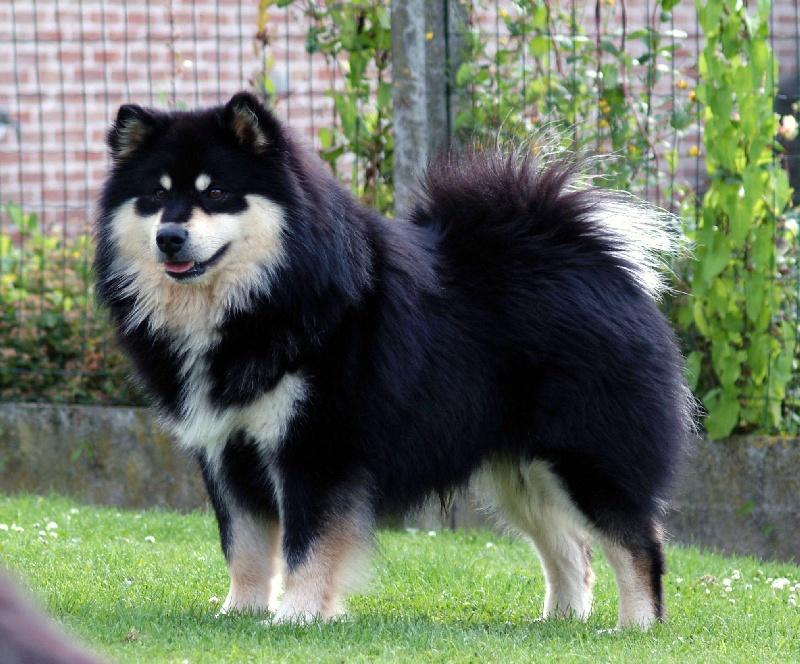 chien elevage aegirsson eleveur de chiens chien finnois de laponie. Black Bedroom Furniture Sets. Home Design Ideas