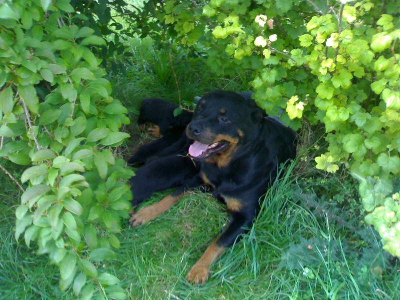 Les Rottweiler de l'affixe du Domaine de la Rêverie