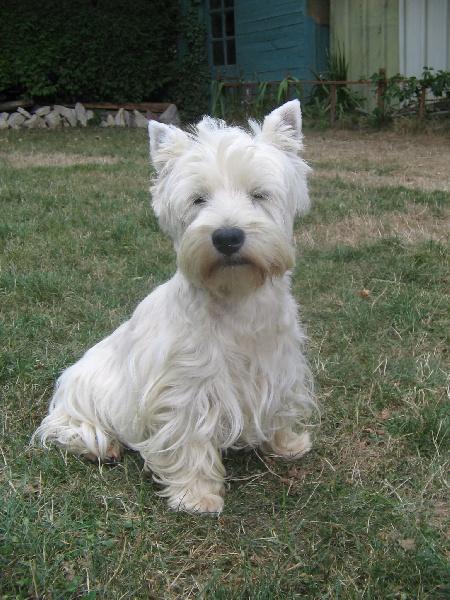 Les West Highland White Terrier de l'affixe des Malicieux Germéco