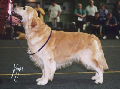 Golden Retriever - CH. Steval Mickey finn at ivycrest