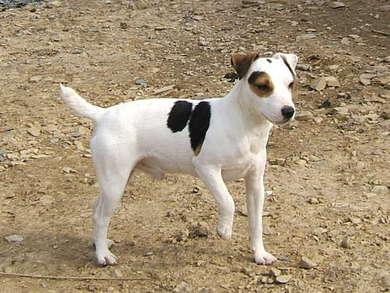 Les Jack Russell Terrier de l'affixe de la Vallée du Vey