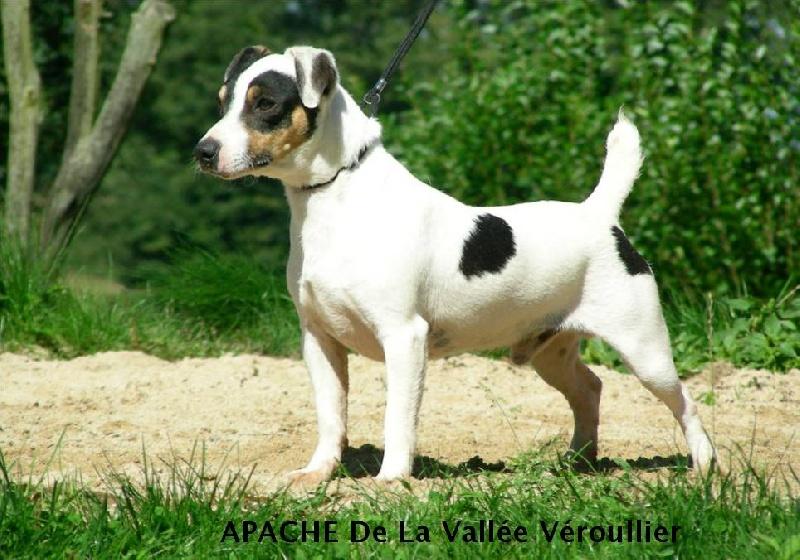 Les Jack Russell Terrier de l'affixe des Diamants Verts
