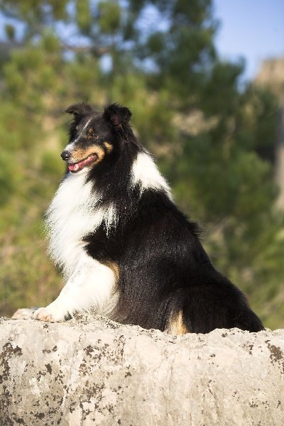 Les Shetland Sheepdog de l'affixe des Famonadyns