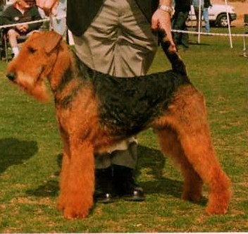 Airedale Terrier - CH. Saredon Chariot of fire