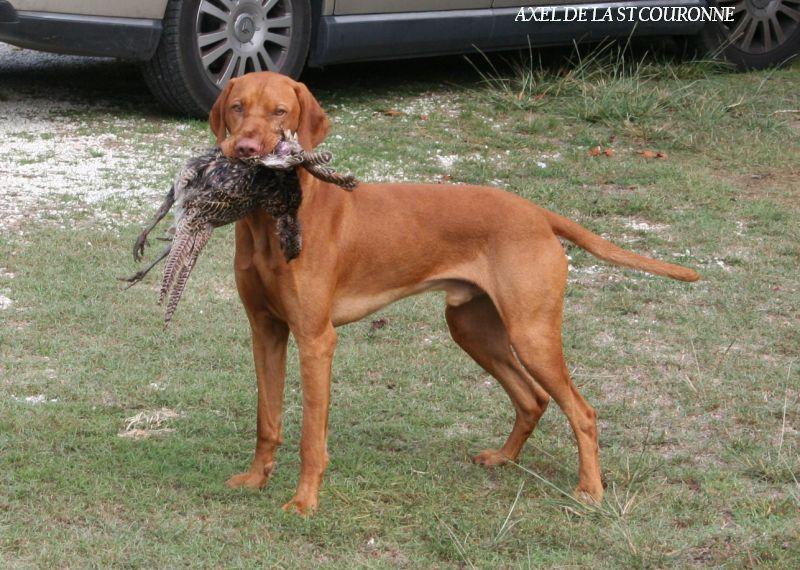 Ch axel de la sainte couronne chien de race toutes races en tous departements france inscrit - Braque hongrois a poil court ...