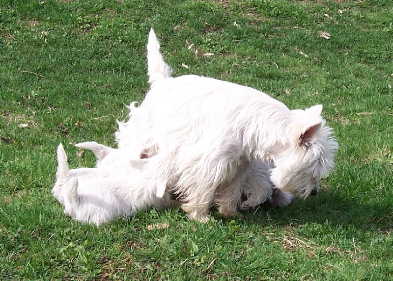 Les West Highland White Terrier de l'affixe de L'Etang des Chalands