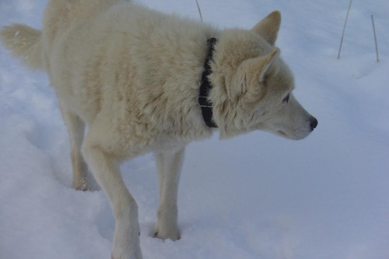 CH. Jarok-hivearl des rêves de l'hiver blanc