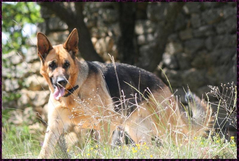 Les Berger allemand de l'affixe des Loups du Garlaban