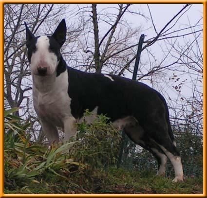 Les Bull Terrier de l'affixe shades of blues