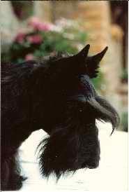 CH. Kentwella Pied noir