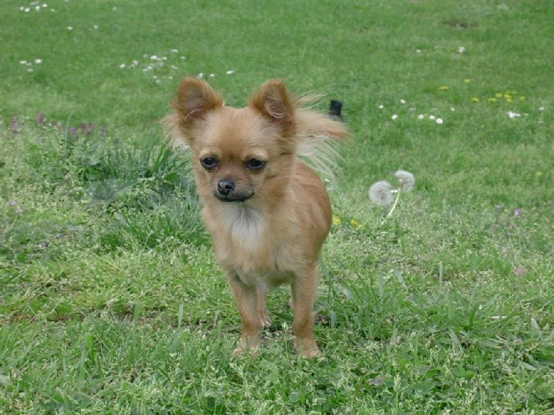 Les Chihuahua de l'affixe Du grand baronnet