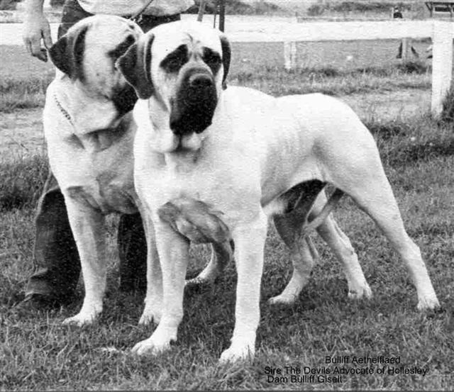 Le Standard de la race Mastiff sur Atara.com