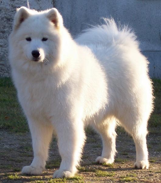 CH. Vinoun taiga des plaines de Siberie chien de race