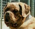 Le Standard de la race Dogue de Bordeaux sur Atara.com