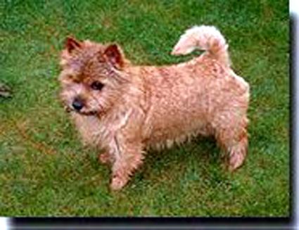 Norwich Terrier - CH. windermer's Panja
