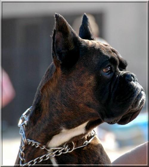 Utsar des jardins de passiflore chien de race toutes races for Boxer jardin de passiflore