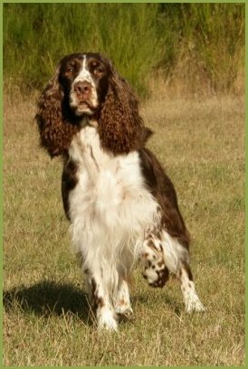Les English Springer Spaniel de l'affixe of Cookies and Cream