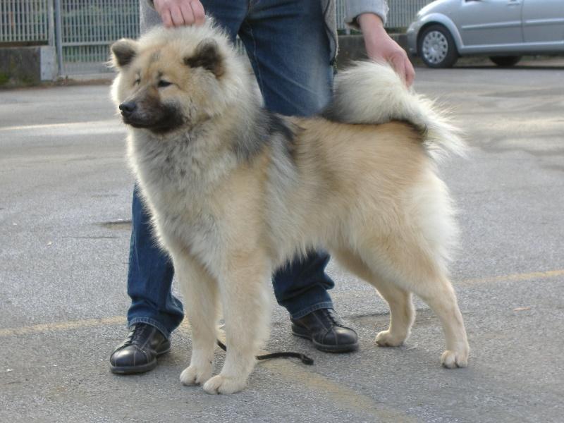 Chien - Elevage Du Soleil D'eurasie - eleveur de chiens