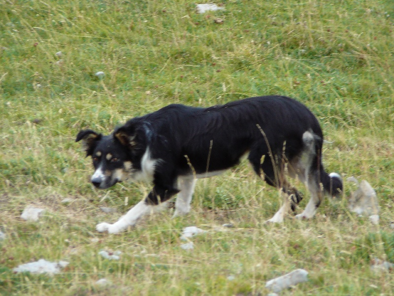 Les Border Collie de l'affixe du blues des alpages