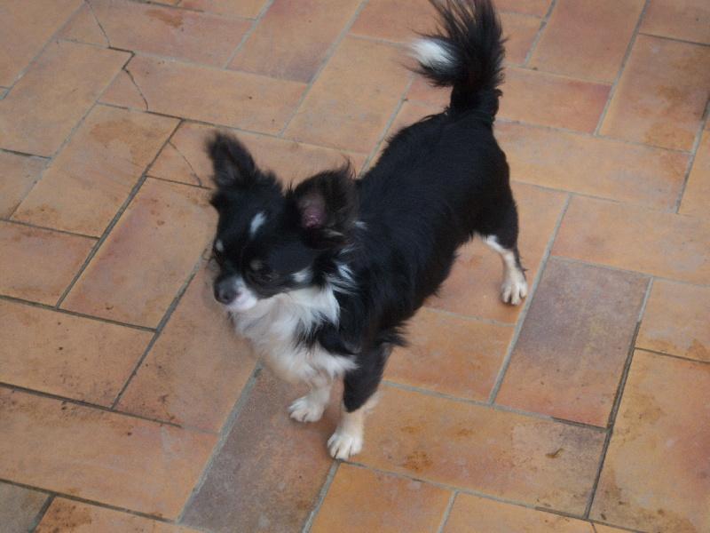 Nos amis d'appartement  Chiens-Chihuahua-dafbe2e8-fdc1-abb4-4dda-a7ead10507a0