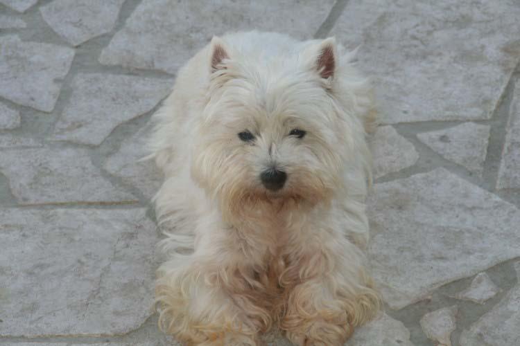 Les West Highland White Terrier de l'affixe du fief Saint Theau