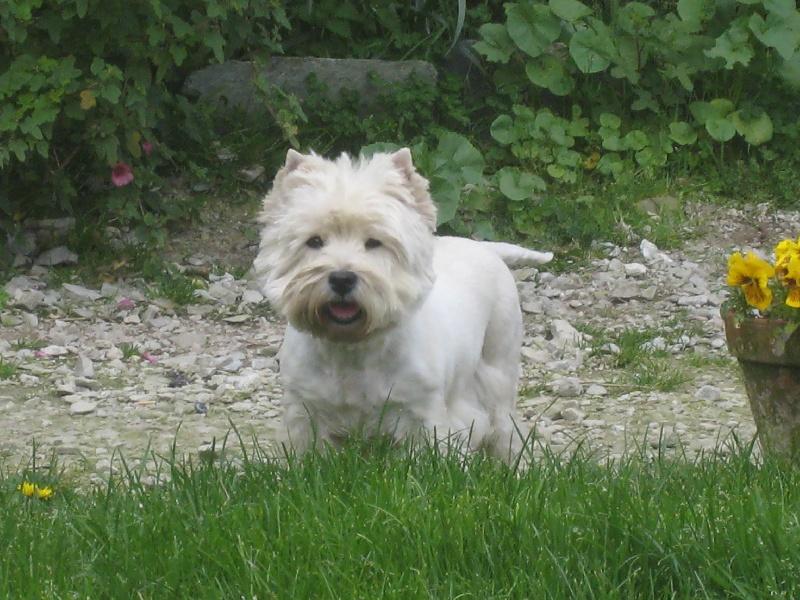 Les West Highland White Terrier de l'affixe de Cosédia