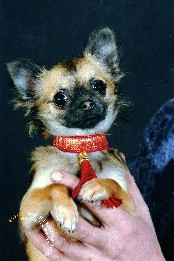 Les Chihuahua de l'affixe de la Voie des Péniches