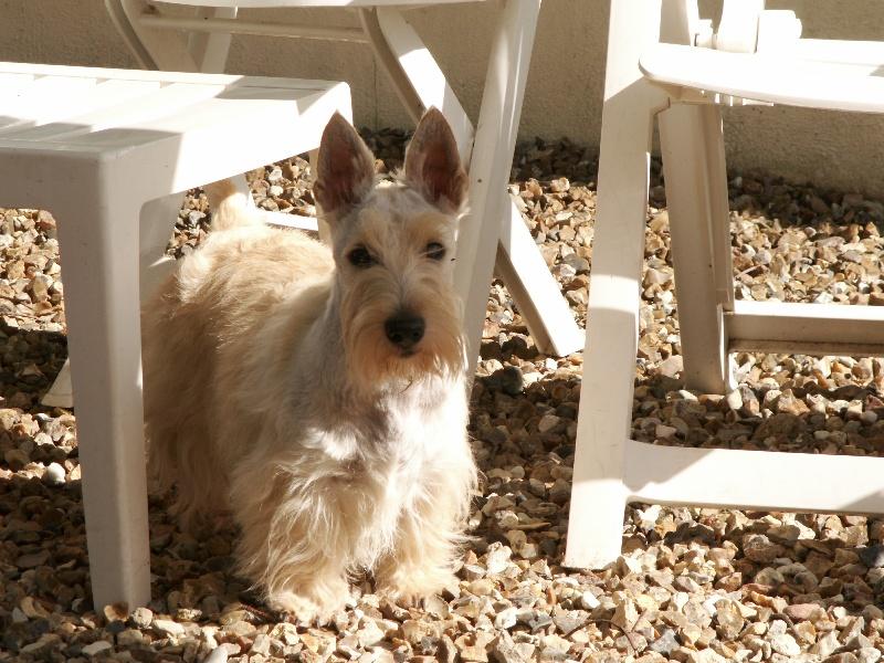 Les Scottish Terrier de l'affixe du domaine du Bois Colin