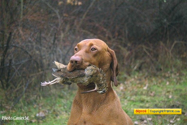 Ch tr szentmartonkatai bajnok bator chien de race toutes races en tous departements france - Braque hongrois a poil court ...