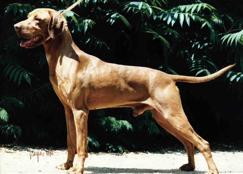 Ch vadaszfai koz k chien de race toutes races en tous departements france inscrit sur chiens de - Braque hongrois a poil court ...