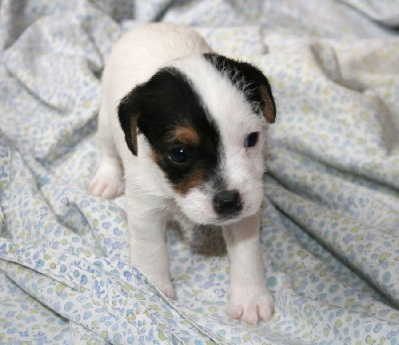 Les Jack Russell Terrier de l'affixe des very important Parson