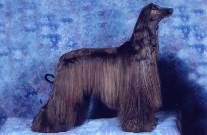 Le Standard de la race Levrier afghan sur Atara.com