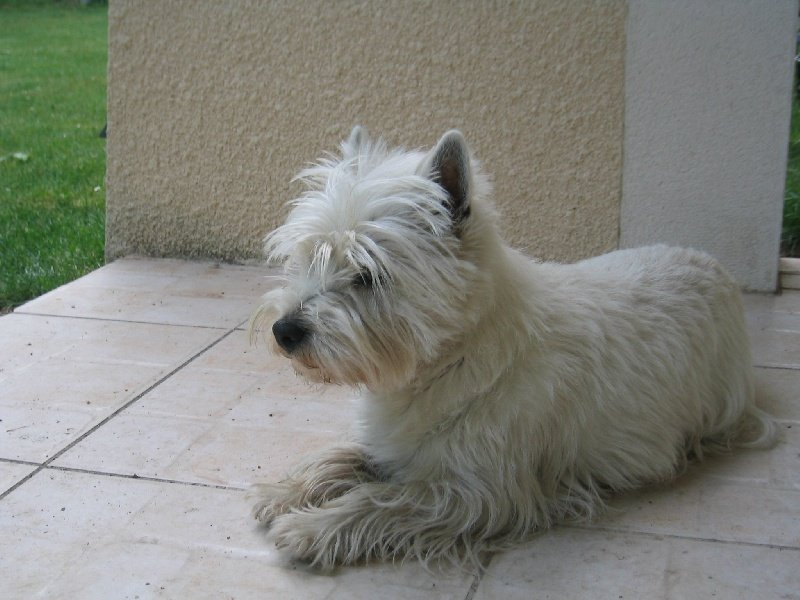 Les West Highland White Terrier de l'affixe d'Isarudy