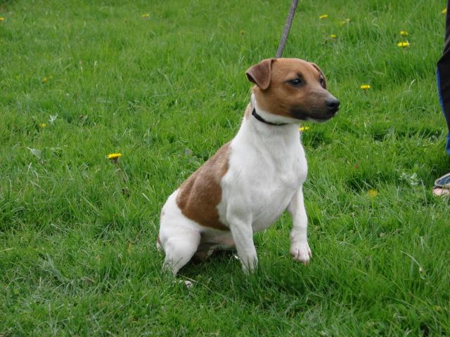 Les Jack Russell Terrier de l'affixe du Fond de la Chenaie