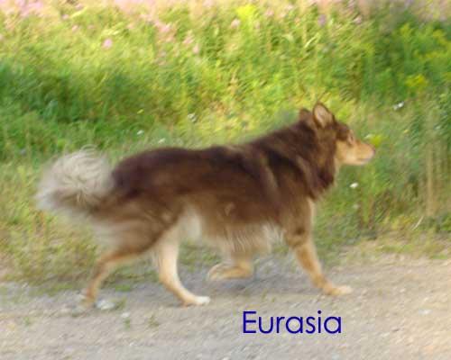 Les Chien finnois de Laponie de l'affixe Eurasia