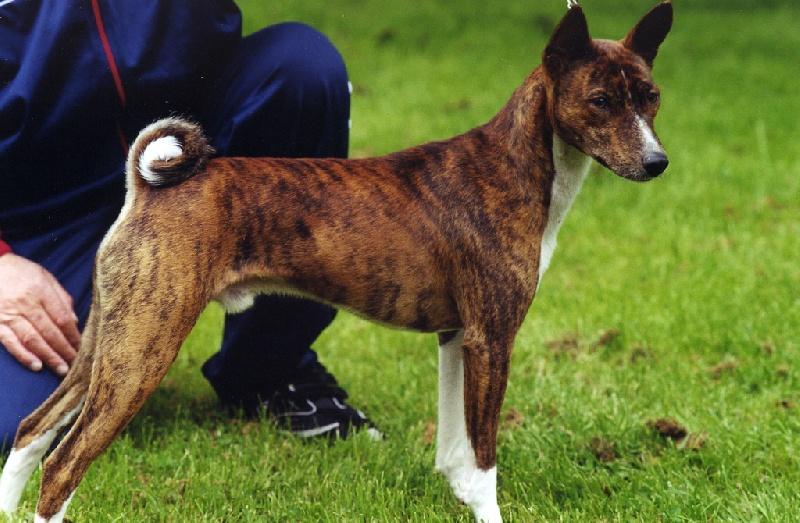 Les Basenji de l'affixe Doggenhagen