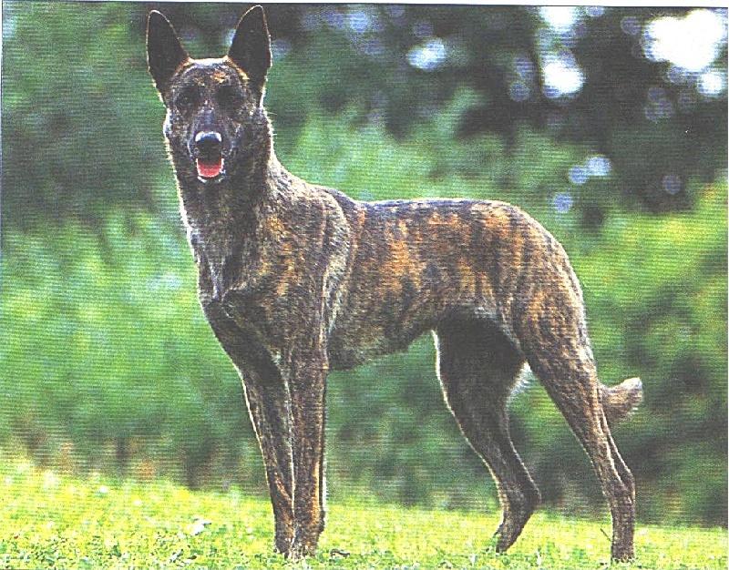 chiens-Berger-hollandais-2b935571-8a96-1a54-8d1a-80fd35125d48