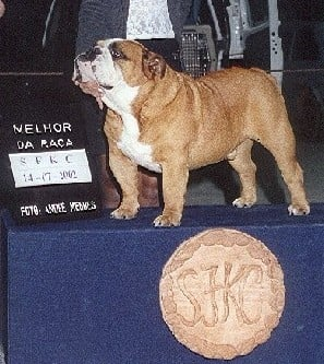 Bulldog Anglais - CH. Fullmarks The duke