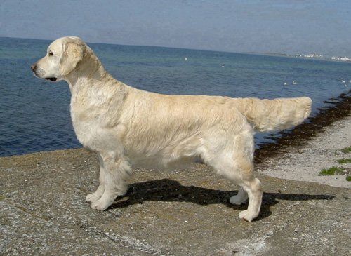 Golden Retriever - CH. Styal silksilla