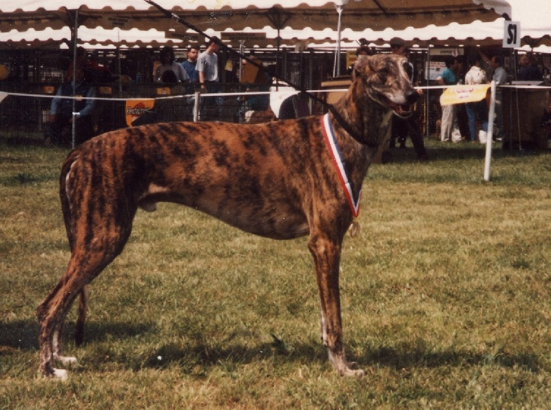 Les Greyhound de l'affixe De La Haultière