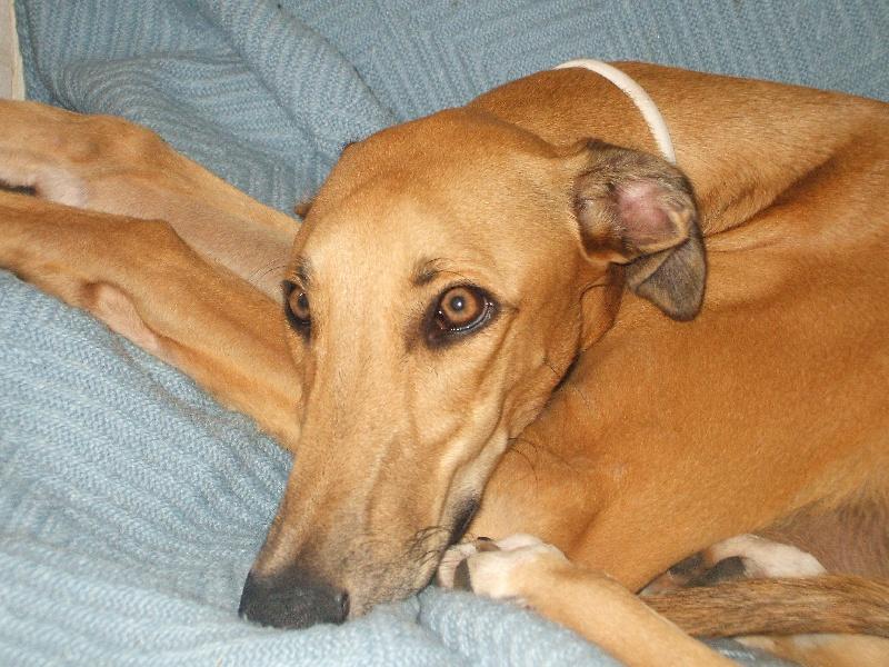 Les Greyhound de l'affixe Des Lys De L'Arabah