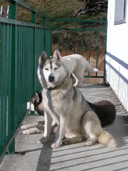 Les Siberian Husky de l'affixe Uron's
