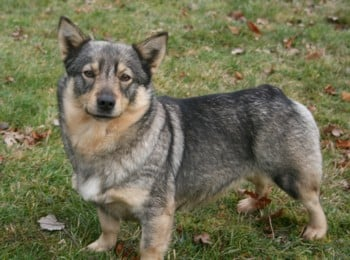 Les Vallhund suedois-Spitz des Wisigoths de l'affixe Des coeurs d'alène