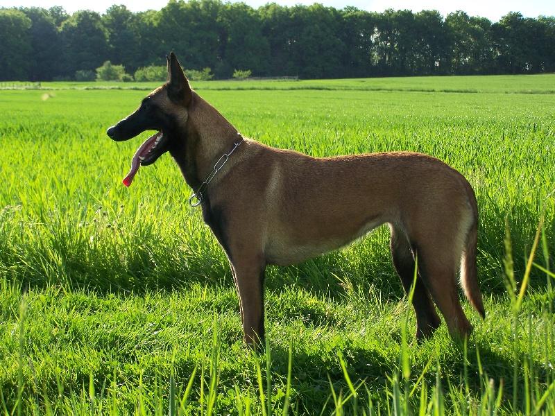 Accueil - Elevage du Mont Regalis - eleveur de chiens