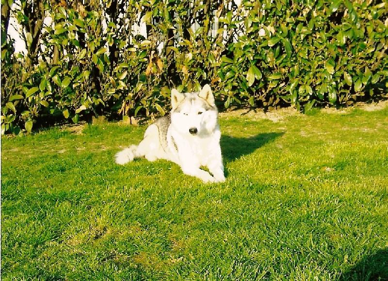 Les Siberian Husky de l'affixe de l'écume des cimes blanches