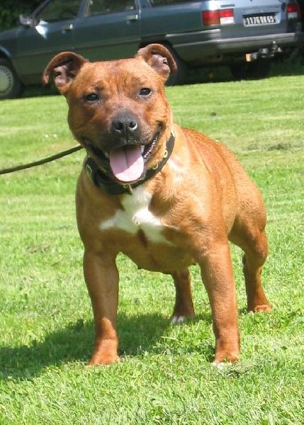 Les Staffordshire Bull Terrier de l'affixe De karysha