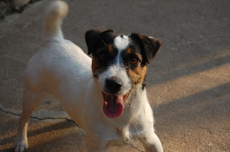 Les Jack Russell Terrier de l'affixe De la roche turpin